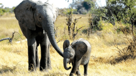 Private Film Screening: Naledi: A Baby Elephant's Tale